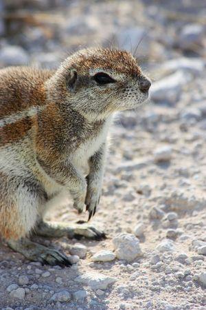elusive: Namibian wild life, Etosha park, dry season