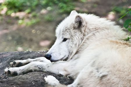 Portrait of a white wolf, hot season photo