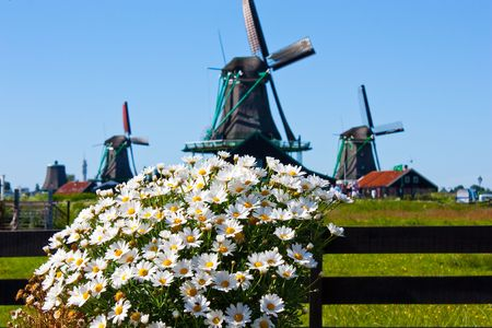 Clear and traditional landmark for Holland: flowers and mills photo