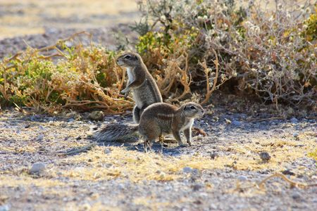cape ground squirrel: Namibian wild life, Etosha park, dry season