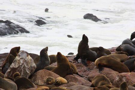 pinniped: Namibian wild life, Cape Cross, dry season