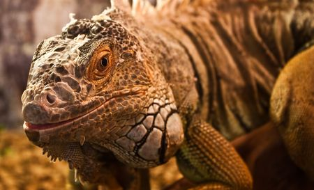 Geen Iguana: complete classification Iguana Iguana - Reptilia - Squamata - Saura photo