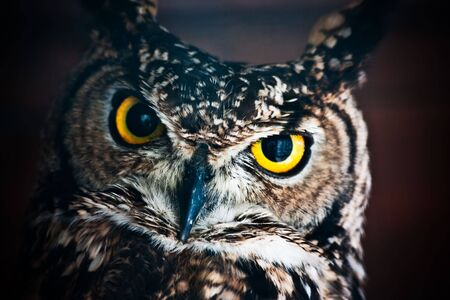 a large bird of prey: Piccolo gufo europeo, rapace notturno con becco di Falco simile e artigli e grande testa con gli occhi rivolti anteriore  Archivio Fotografico