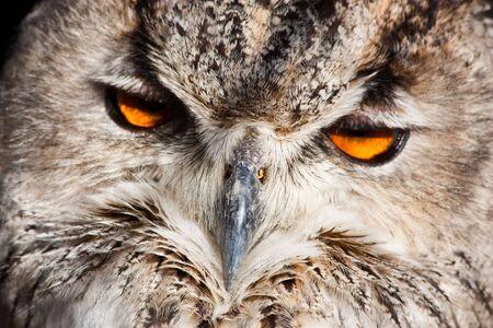 Royal owl: complete classification Bubo Bubo - Aves - Neognata - Strigiformes - Striginae Stock Photo - 7948105