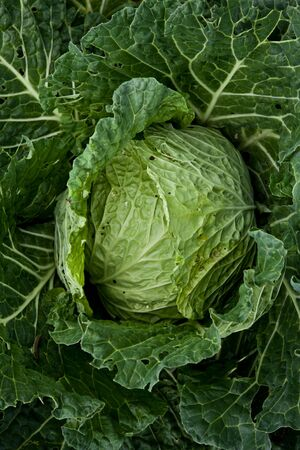 pesticides: Italian cabbage, cultivated without pesticides in a local farm