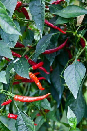 pesticides: Biological cultivation of red peppers, without pesticides Stock Photo