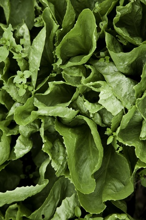 pesticides: Green biological salad cultivated without pesticides