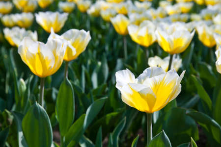 Cultivation of Darwin Hybrid Tulip Jaap Groot: yellow and white bicolor, perennial group photo