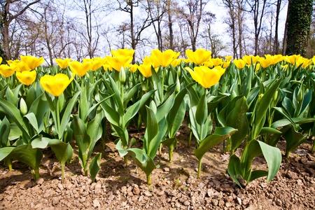 Golden variaties of Tulips - spring season (April) photo