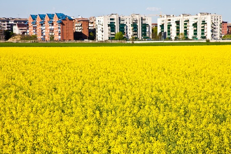 city limit: Field of yellow flowers in spring season close to the border of the city
