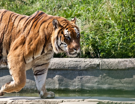 The tiger (Panthera tigris), a member of the Felidae family, is the largest of the four