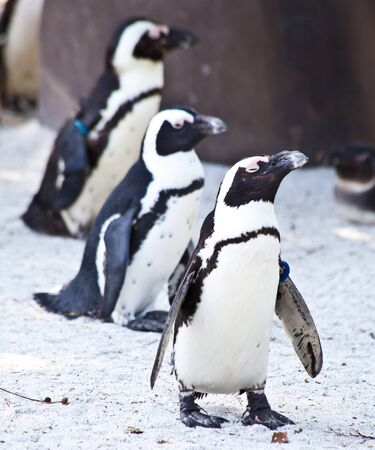 African Penguins are about 68cm in length, and weigh between 2.1 and 3.7kg. Spheniscus is a diminutive of the Greek word spen, meaning a wedge, which refers to their streamlined swimming shape, while demersus is a Latin word meaning plunging.