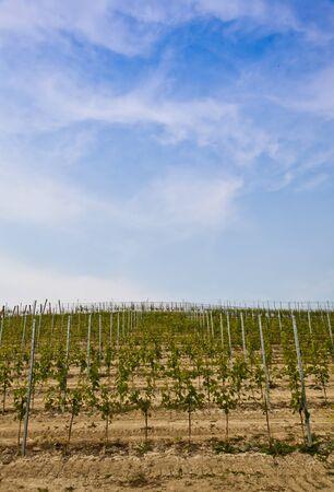 Barbera vineyard during spring season, Monferrato area, Piedmont region, Italy Stock Photo - 9886677