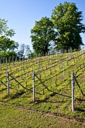 viniculture: Vineyard with a drip irrigation system running along the top of the vines Stock Photo