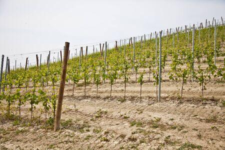nebbiolo: Barbera vineyard during spring season, Monferrato area, Piedmont region, Italy Stock Photo