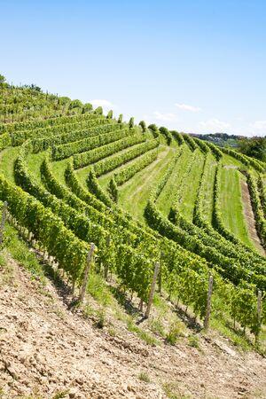 Barbera vineyard during spring season, Monferrato area, Piedmont region, Italy Stock Photo - 10481974