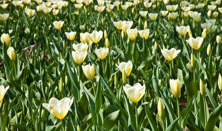 Cultivation of Darwin Hybrid Tulip Jaap Groot: yellow and white bicolor, perennial group Stock Photo - 10551388