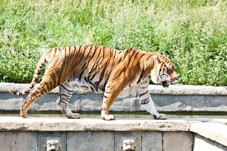 tigris: The tiger (Panthera tigris), a member of the Felidae family, is the largest of the four big cats in the genus Panthera. The tiger is native to much of eastern and southern Asia, and is an apex predator and an obligate carnivore.