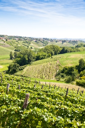 Barbera vineyard during spring season, Monferrato area, Piedmont region, Italy photo