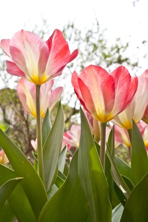 Sunny day: beautiful tulips in a private Italian garden photo