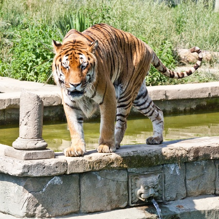The tiger (Panthera tigris), a member of the Felidae family, is the largest of the four big cats in the genus Panthera. The tiger is native to much of eastern and southern Asia, and is an apex predator and an obligate carnivore.