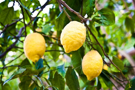Lemon on the tree in Costiera Amalfitana, tipical Italian location for this fruit Stock Photo - 11112842