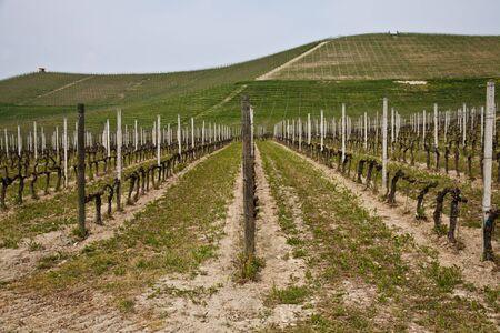 Barbera vineyard during spring season, Monferrato area, Piedmont region, Italy
