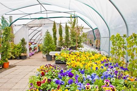 kassen: Greenhouse interieur tijdens de herfst seizoen, Piemonte, Italië Redactioneel