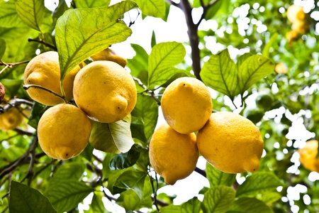 Lemon on the tree in Costiera Amalfitana, tipical Italian location for this fruit Standard-Bild