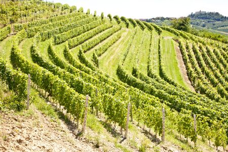 Barbera vineyard during spring season, Monferrato area, Piedmont region, Italy photo