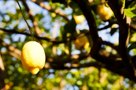 Lemon on the tree in Costiera Amalfitana, tipical Italian location for this fruit photo
