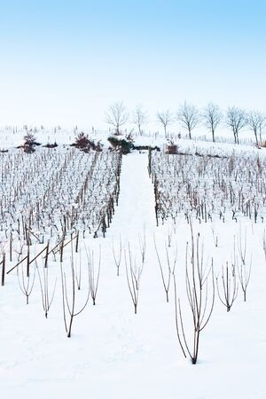 Unusual image of a wineyard in Tuscany (Italy) during winter time Stock Photo - 13306611