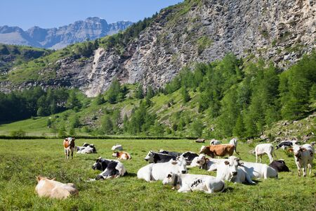 Italian cows during a sunny day close to Susa, Piedmont, Italian Alps photo