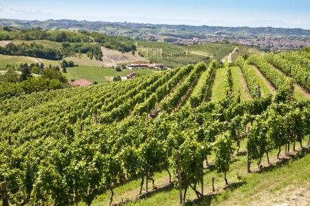 春のシーズン、モンフェッラート エリア、ピエモンテ州のイタリアの中にバルベラ ヴィンヤード 写真素材