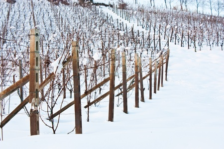 Unusual image of a wineyard in Tuscany (Italy) during winter time photo