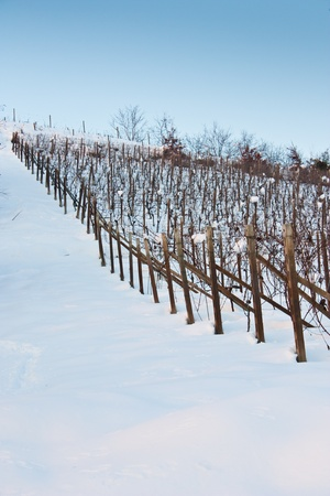 wineyard: Unusual image of a wineyard in Tuscany (Italy) during winter time