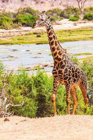 Kenya, Tsavo East National Park. Free giraffe in sunset light. Stock Photo - 15680103