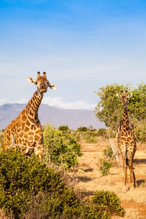 Kenya, Tsavo East National Park. Free giraffe in sunset light. photo