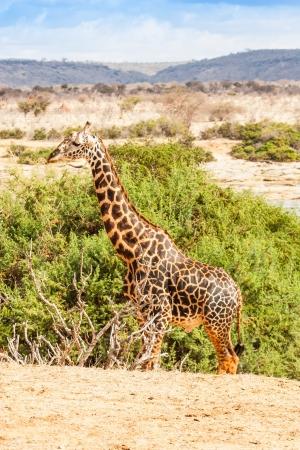tsavo: Kenya, Tsavo East National Park. Free giraffe in sunset light.