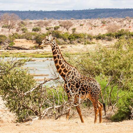 Kenya, Tsavo East National Park. Free giraffe in sunset light. photo