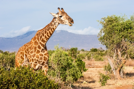 Tsavo East National Park. Free giraffe in sunset light. photo