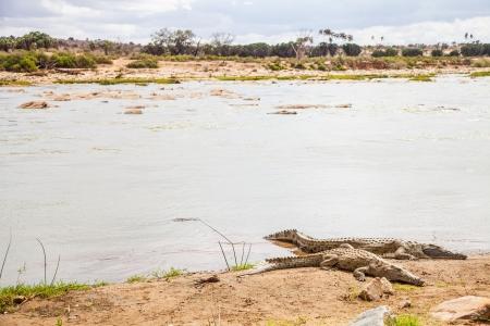 tsavo: Kenya, Tsavo East National Park. Crocodiles  joining the last sun before the sunset
