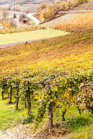 lambrusco: Piemonte Region, Italy: vineyard during autumn season