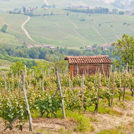 wineyard: Tuscany. Vineyard in the middle of the most famous wine region of Italy.