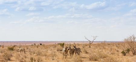 Kenya, Tsavo East National Park. Three zebras looking to the photographer, sunset light photo