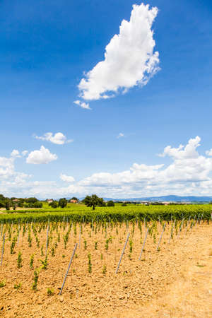 wineyard: Italy, Tuscany region, Orcia Valley. A youg wineyard during a sunny day Stock Photo