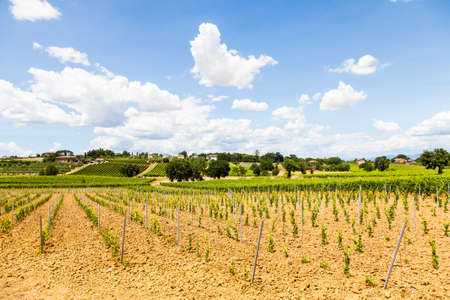 Italy, Tuscany region, Orcia Valley. A youg wineyard during a sunny day photo