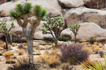 Joshua Tree National Park, USA. Detail of this amazing and unique place photo