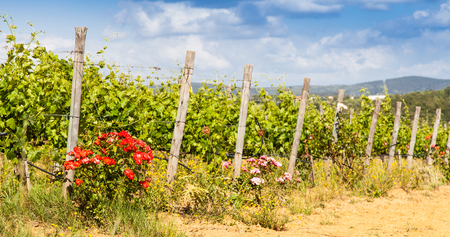 pratice: Val Orcia, Tuscany region, Italy. The use of roses as insects repellent is still a pratice in Tuscan wineyards