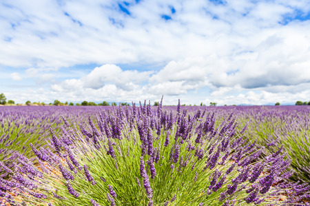 Provence Region, France. Lavander field at end of June